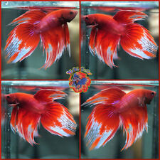 Live Betta Fish Fancy Red Marble Veil Tail Pair