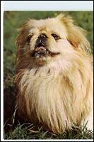 Hund Dog DDR Tier Motiv-Postkarte Peking-Palast-Hund Hunde Rasse Verlag Planet