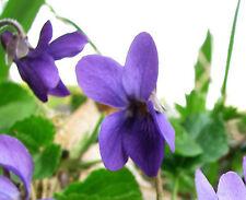 50 Graines non traitées de VIOLETTE Reine Charlotte - Viola odorata - Fleur
