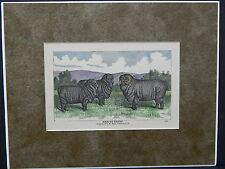 Sheep c1890 Matted Ready To Frame S2 #07 Merino Sheep