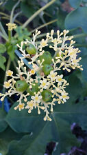 RARE  JATROPHA PODAGRICA WHITE 1 X AGED PLANT Buddha Belly or Coral plant
