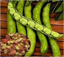 Broad Bean Seeds TENDER & SWEET Spanish Haba SOW NOW!  FAST-GROWING