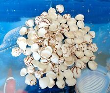 1/2 POUND OF SPOTTED CLAM SEA SHELLS BEACH DECOR NAUTICAL CRAFT TROPICAL