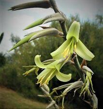 PUYA MIRABILIS, rare bromeliad agave drought aloe succulent plant seed -15 SEEDS