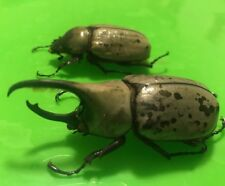 ARIZONA DYNASTES GRANTI HERCULES BEETLE Scarab Insects Dead Specimens