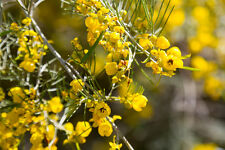 """""""Senna artemisioides"""" passt sehr schön in die mediterrane Pflanzenecke !"""