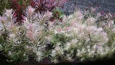 1 bouquet de ludwigia sp white  tres rare nouveaute 2020 nano crevette poisson