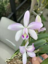 Mini cattleya Jairak Dolly , Pink Compact orchid