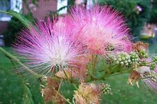 75+ Mimosa Pink Silk Tree Seeds Albizia julibrissin, Cold Hardy, Fast Growing