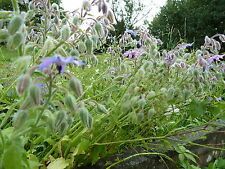 Graines semences  BOURRACHE officinale , seeds  borage  les abeilles aiment