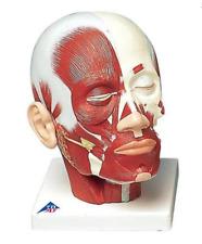 3B Scientific VB127 Head Musculature Anatomical Model Anatomy