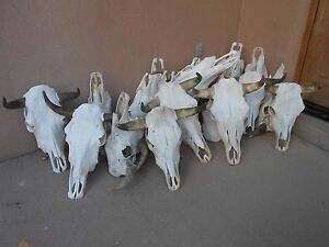 ONLY ONE STEER SKULL  HORN LONGHORN cow bull CATTLE taxidermy head HoRNS