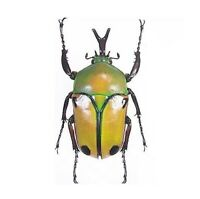 Insect Hypselogenia corrosa Pair 25mm+//- ....!! Tanzania