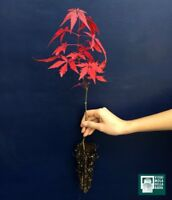 ACER PALMATUM ATROPURPUREUM alv Pflanze Plant Ahorn Japanisch Rot Japanisch mapl
