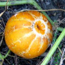 """gelbe GURKE """"Cucumis sativus"""" sehr guter Geschmack """"gelber Würzer"""" gelb rund,"""