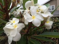 1-one plumeria cutting white samoa fluff 8-11""