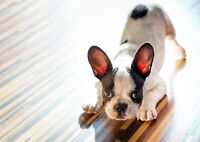 Cute French Bulldog Puppy Poster Size A4 / A3 Dog Animal Poster Gift #8649