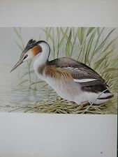 BASIL EDE BIRD PRINT ~ GREAT CRESTED GREBE