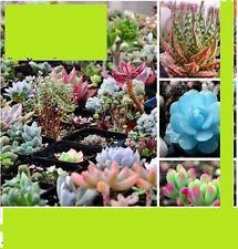 30x Sukkulenten Selten Kaktus Samen Pflanze Saatgut 100% Ausbeute gemischt #104