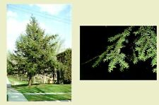 Canadian Hemlock.    100 seeds.    trees, seeds