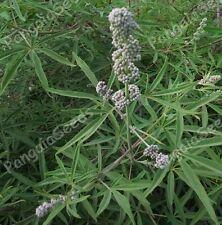 Vitex agnus-castus 80 Seeds Vitex Chaste Tree Chasteberry Herb Mediterranean