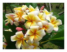 "1 talea""di Plumeria ""Honey pot"" -Cutting"" lunga dai 30/50 cm"
