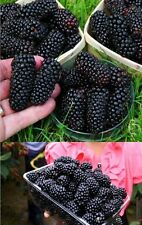 25 x Gigantesco Bayas Semillas Simiente Planta Rareza comestible Fruta Moras #
