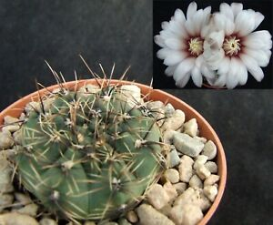 Gymnocalycium Erinaceum choice 4cm flowering size collectors Argentine cactus