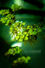 Salvinia Minima Water Spangles, One of nature's most elegant floating plants