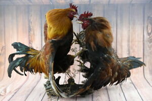 2 Colorful Fighting Roosters Trophy Premium  Taxidermy Bird