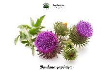 Bardana Japonica - arctium lappa var. edule - 50 semillas - Medicinal - seeds