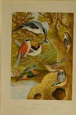 1875 BRITISH BIRD PRINT ~ NUTHATCH WRYNECK WOODCHAT KINGFISHER CREEPER SHRIKE