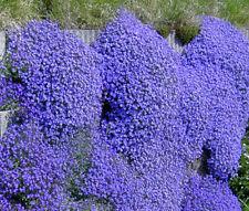 Aubrieta Rock Cress Cascade Blue Aubrieta Hybrida Superbissima - 200 Bulk Seeds