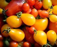 10//100 Graines TOMATE Brandywine Jaune Riche Saveur Délicieuse Douce Gros Fruit