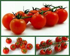 Cherry Tomato Seeds, 3 pk Special, Heirloom Cherry Tomatoes, Tiny Tim, Sweetie