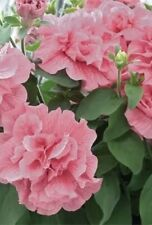 50 Double Light Pink Petunia Seeds Containers Hanging Baskets Annual Seed 969