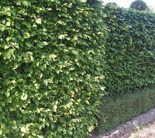 Halbschatten-Strauchpflanzen für trockenes Klima
