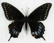 Insect/Butterfly/ Papilio indra kaibabensis - Female Repared