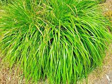 Lemongrass 200+ Seeds Mosquito Repellent Heirloom Lemon Grass Non-Gmo Herb Usa