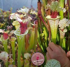 91) Pack of Sarracenia seeds 2020/2021, carnivorous plants rare