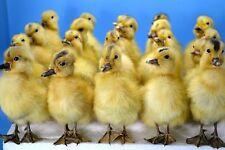 Taxidermy yellow 20 ducklings farm stuff handmade home deco craft Free P&P to AU