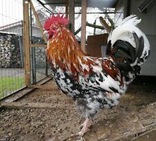 10 Schwedische Blumenhühner Hühner Eier Bruteier ( keine)
