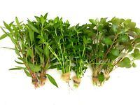 PLANTA DE ACUARIO: LOTE DE 6 PLANTAS PROCERPINACA.BACOPA.LUDWIGIA envío gratis