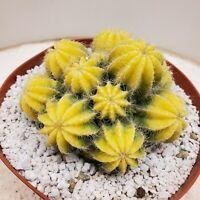 Super Rare Parodia magnifica variegated  cactus cacti succulent plant #141