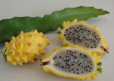 Dragon Fruit (yellow) 4x30cm Premium Cuttings From Mature Organic Fruiting Plant