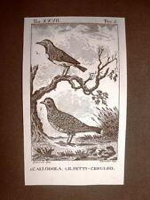 Allodola e Petticeruleo Incisione su rame del 1813 Buffon Uccello Ornitologia