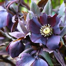 Helleborus 'Black Beauty' -  10 Seeds - Hardy Perennial