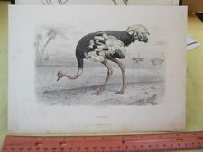 Vintage Print,L'AUTRUCHE,French,Hand Colored,c1850