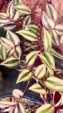 Wandering Jew trancended zebra plant clipping starter with care instructions.