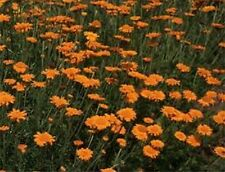 Marguerite Daisy- Orange- (Anthemis Tinctoria Kelwayl)- 100 Seeds